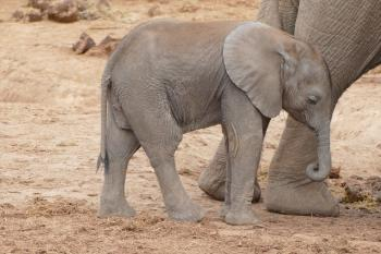 Baby elephant at Addo National Park in South Africa