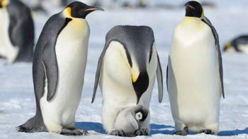 photo of three adults penguins caring for one juvenile penguin