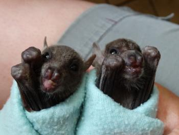 Picture of baby bats rolled in blankets