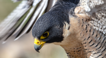 A close-up of the face of the Peregrine Falcon