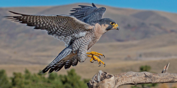 A Peregrine Falcon landing on a branch