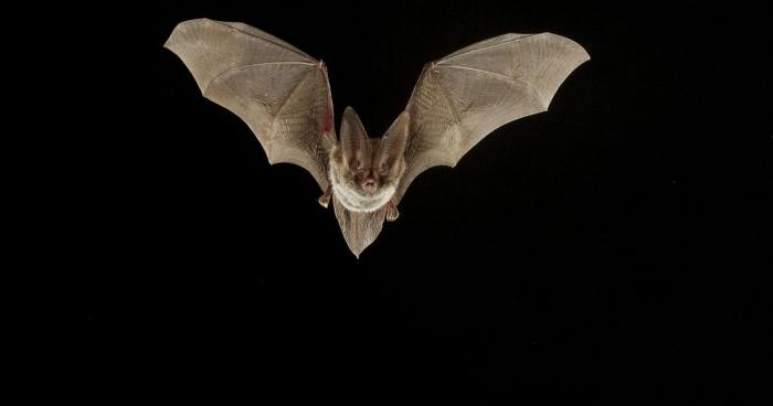 Photo of bat in flight against all black background